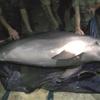 Браконьерам не удалось избежать наказания за вылов редкого дельфина