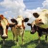 Фермерша Ленинского района кормила скот коноплей