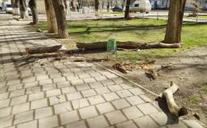 На Казакова снова рухнула массивная сухая ветка