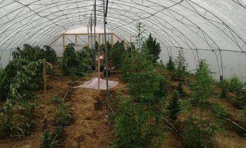 В парниках у крымчанина нашли 60 килограммов марихуаны
