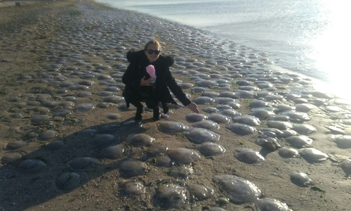 Сотни медуз выбросило на берег в Щелкино