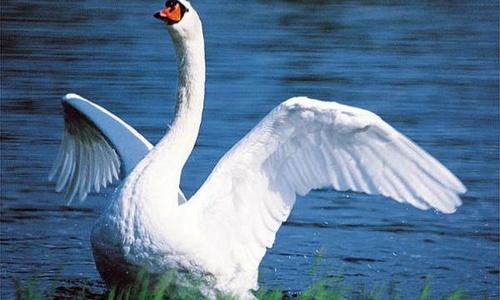 Лебедя-шипуна не дали вывезти из Крыма в Москву