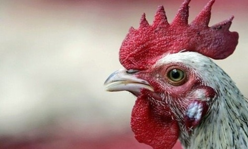 В пяти регионах Крыма ввели карантин из-за «птичьей чумы»